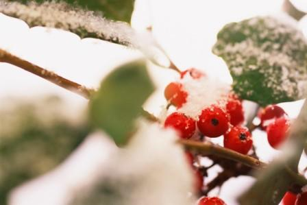 Berries on Vine Covered in Snow
